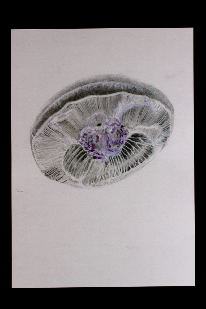 Illustration jellyfish colour A4